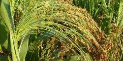 Καλλιέργεια γλυκού σόργου, Ιδανική για παραγωγή βιοαιθανόλης